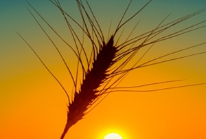 orange sunset and wheat ear on field